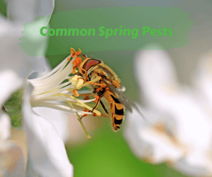 Common Spring Pests