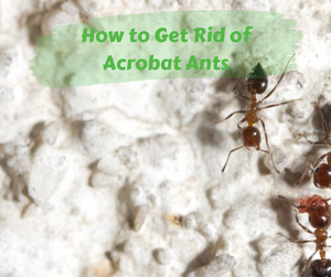 How to Get Rid of Acrobat Ants