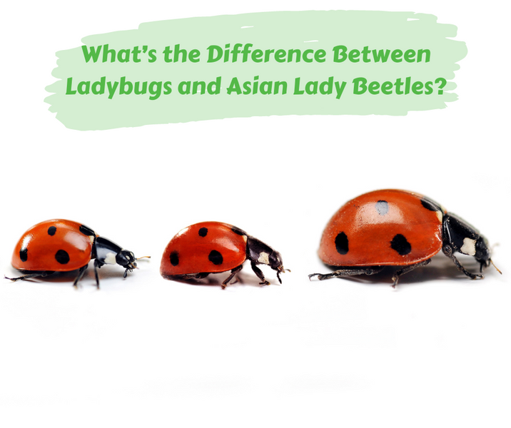 What's the Difference Between Ladybugs and Asian Lady Beetles?