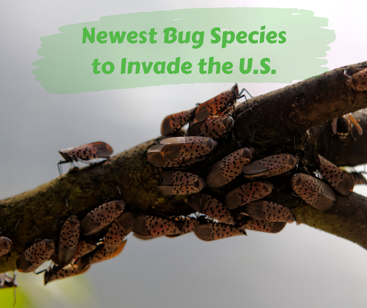 Newest Bug Species to Invade the U.S.