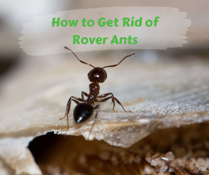 How to Get Rid of Rover Ants