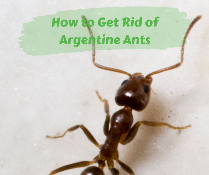 How to Get Rid of Argentine Ants