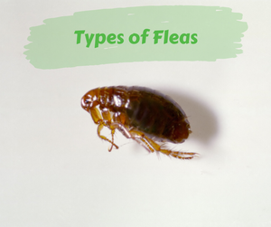 Types of Fleas