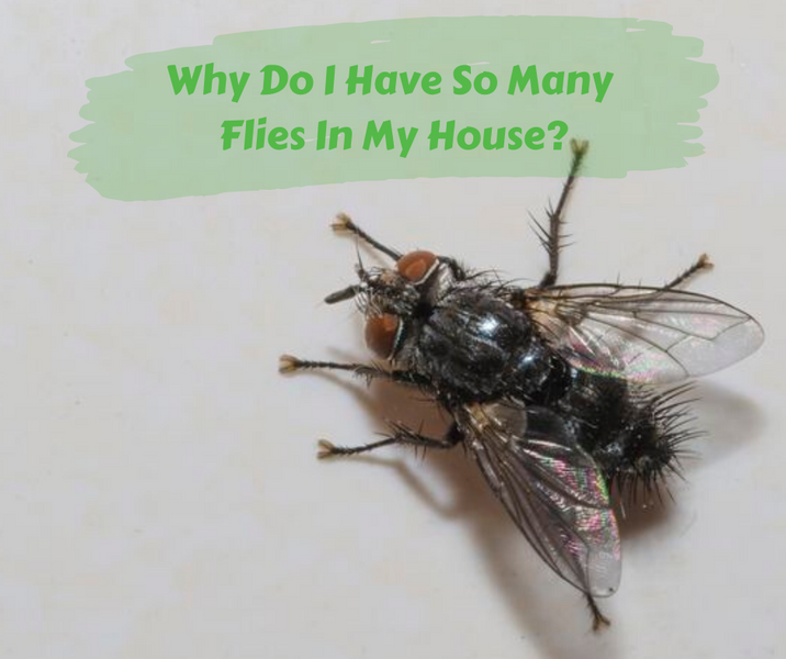 Why Do I Have So Many Flies In My House?