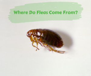 Where Do Fleas Come From?