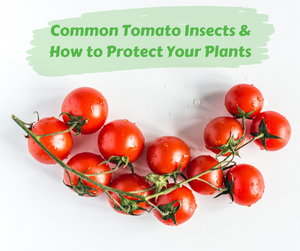 Common Tomato Insects and How to Protect Your Plants