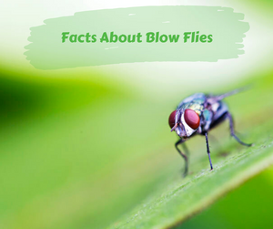 Facts About Blow Flies