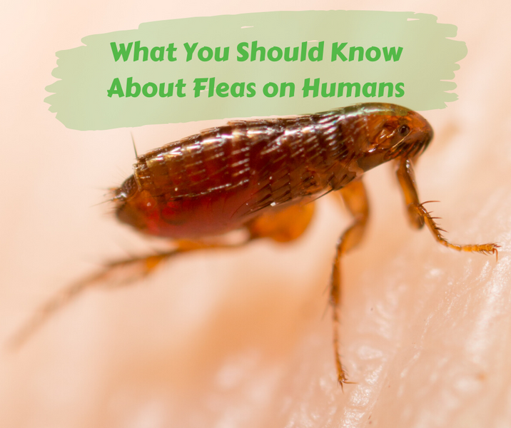 What You Should Know About Fleas on Humans