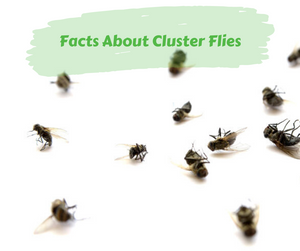 Facts About Cluster Flies