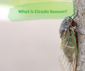 What is Cicada Season?