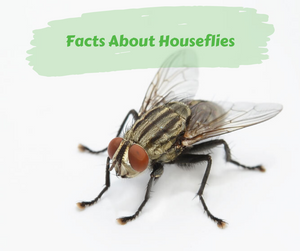 Facts About Houseflies