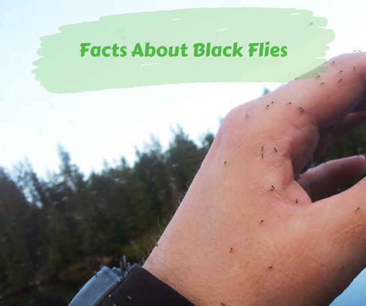 Facts About Black Flies