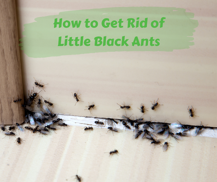 How to Get Rid of Little Black Ants