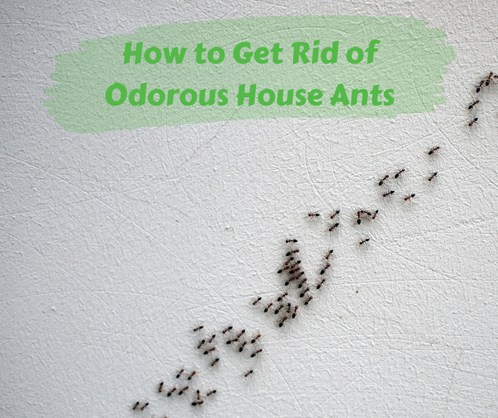 How to Get Rid of Odorous House Ants