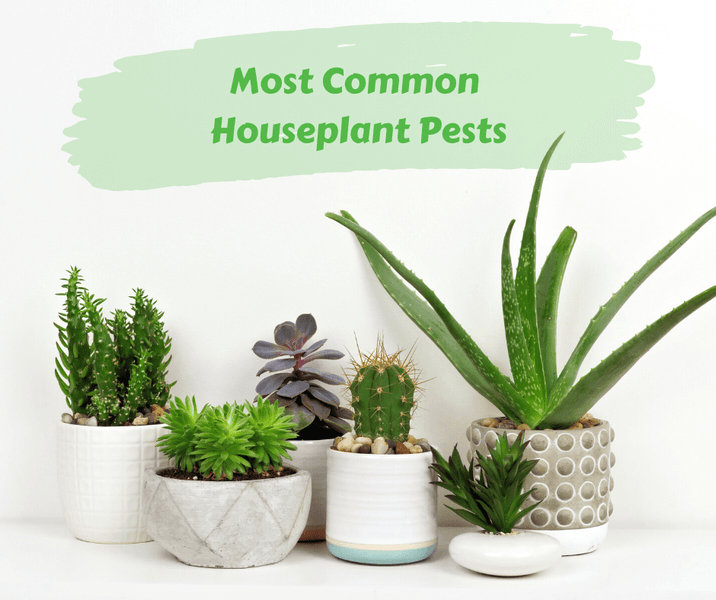 Most Common Houseplant Pests