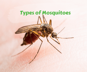 Types of Mosquitoes