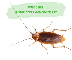 What are American Cockroaches?