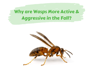 Why Are Wasps More Active & Aggressive in the Fall?