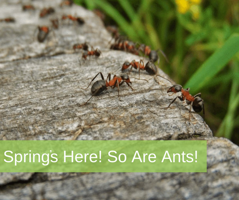 Ant Invasion in Spring