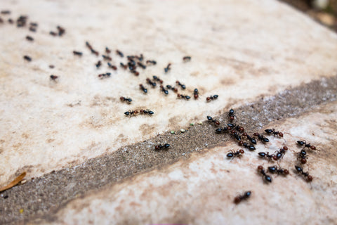 Maggie's Farm Simply Effective No Spill Ant Kill to get rid of ants.