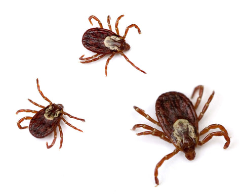 American dog ticks