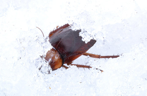 Cockroach in snow