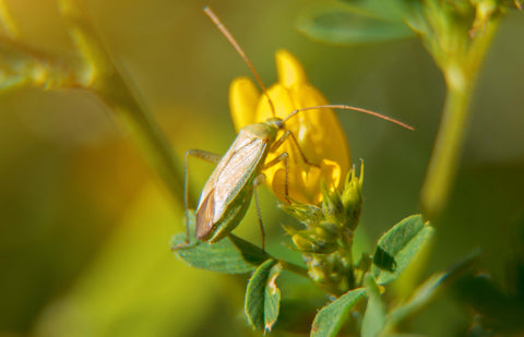 Damsel bug on flower