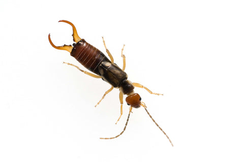 howto get rid of earwigs in the garden naturally