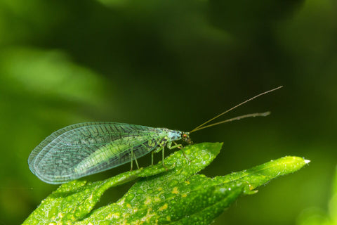 Green lacewing on plant