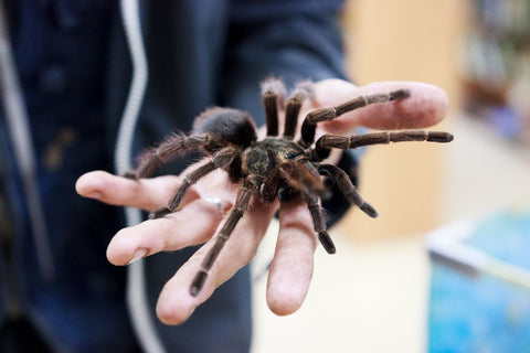 Person holding tarantula