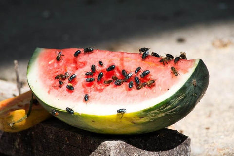 Bugs on watermelon slice