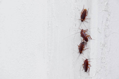 Cockroaches on wall