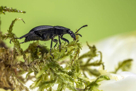 Ground beetle on plant