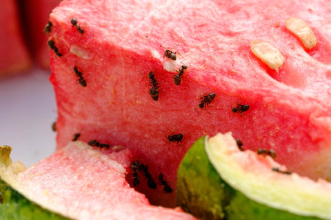Ants on watermelon