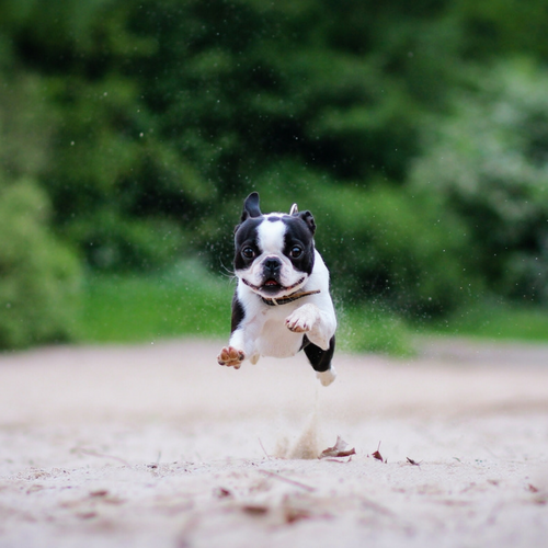 French Bulldog Exercise: How Much Exercise Do French Bulldogs Need?