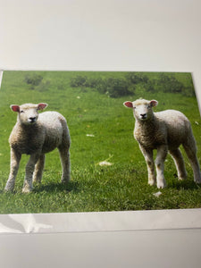 Romney marsh lambs card large