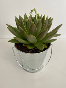 Succulent in a metal pot