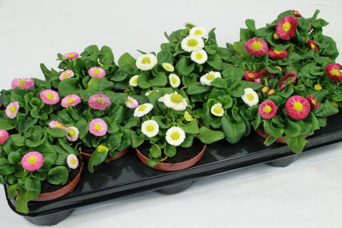 Bellis plants pink