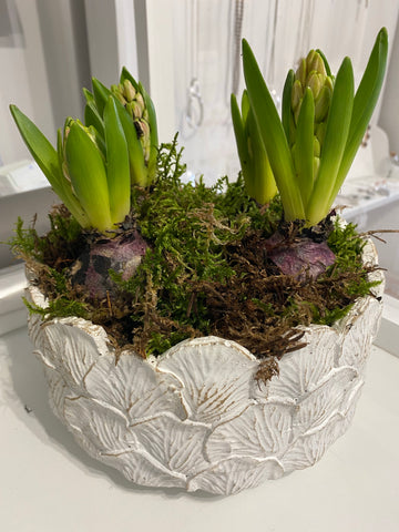 White China pot of hyacinth bulbs (last pot)