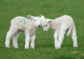 Two Spring Lambs Blank Card