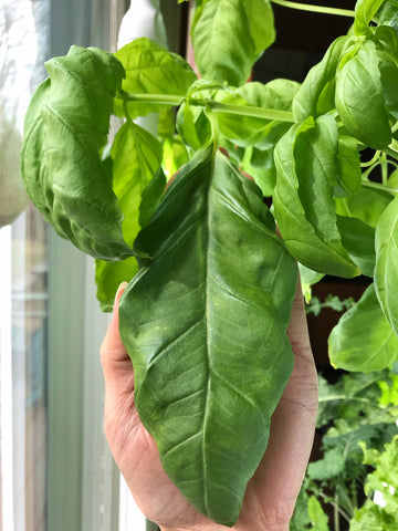 Enormous basil leaves