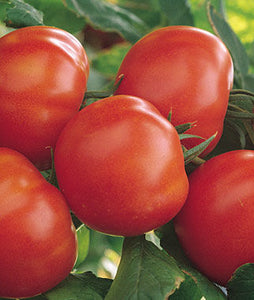 Tomato, Matina Organic (1 packet - 40 seeds)
