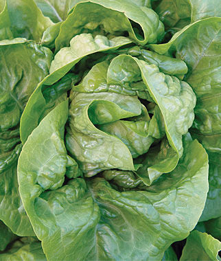 Burpee Organic Buttercrunch Lettuce (1 packet - 1100 seeds)