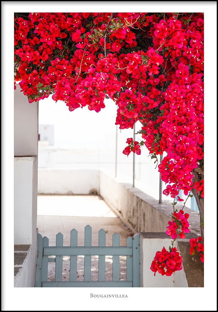 Juliste Bougainvillea