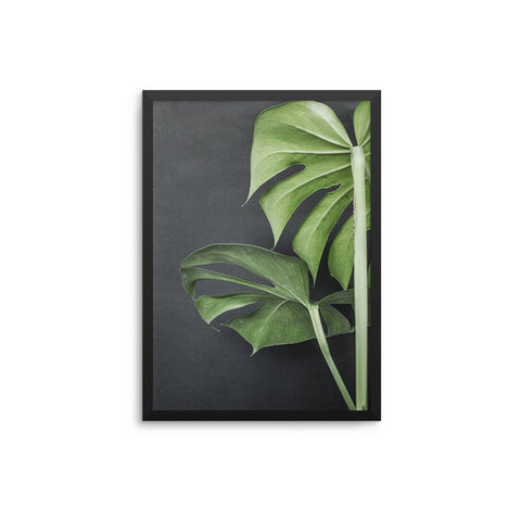 Black Out Monstera Plant