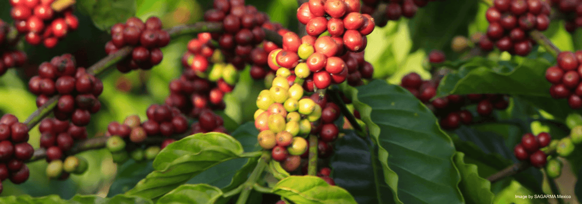 Mexican Coffee Origins