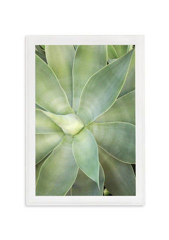 AGAVE ATTENUATA // LARGE GREEN SUCCULENT