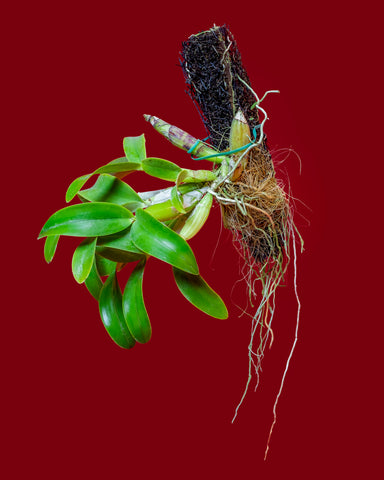 An epiphytic orchid, Caularthron dia bicornutum, attached to a piece of bark at Tula Plants & Design.
