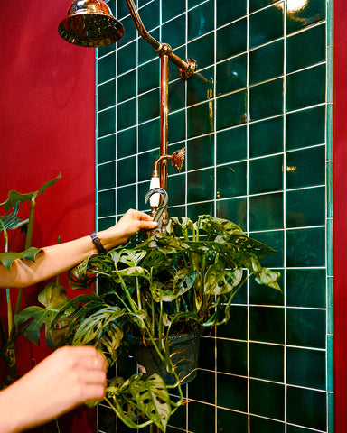An employee at Tula Plants & Design hangs a Monstera adansonii in the shower for watering and cleaning.
