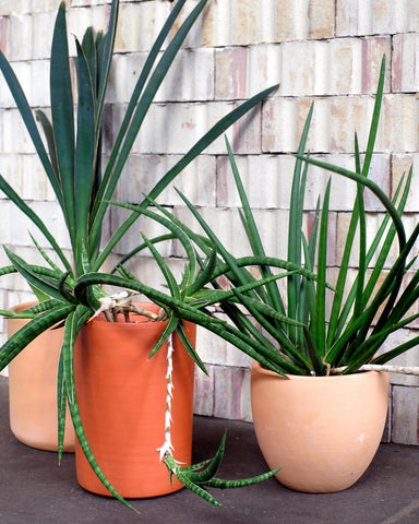 Rare and unusual Sansevierias, or snake plants, for sale at Tula Plants & Design.